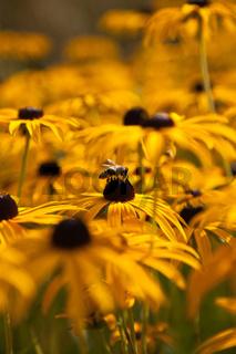 Gelber Sonnenhut (Rudbeckia fulgida) mit Biene