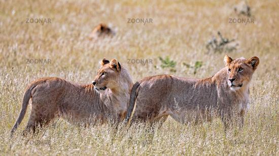 Löwinnen, Etosha-Nationalpark, Namibia, (Panthera leo)   lioness, Etosha National Park, Namibia, (Panthera leo)