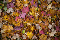 Wonderful autumn leaves in vivid colors as pattern concept for the colorful fall season.