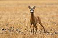 Roe deer walking on dry farmland in summertime nature