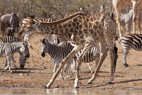 Kapgiraffe (G. c. giraffa) und Zebras am Wasserloch