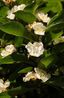 X Crataemespilus grandiflora, Crataegus laevigata x Mespilus germanica