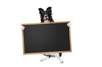 border collie dog holding a blank banner