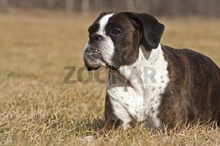 liegender Boxer Hund
