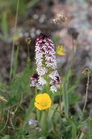 Burnt orchid, Burnt-tip orchid, Burnt tip orchid (Orchis ustulata var. ustulata, Neotinea ustulata), blooming on a meadow, Sweden, Oeland