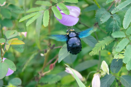 Wild bee, Carpenter bee (Xylocopa sp.) at flower