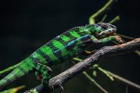 Chichuuka Lee chameleon lurking in the jungle