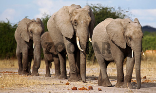 Elefanten im Chobe Nationalpark, Botswana; Loxodonta africana; elephants at Chobe National Park, Botsuana