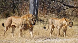 Löwen streifen durchs Moremi Game Reserve, Botswana; panthera leo; Lions in Moremi Game Reserve, Botsuana