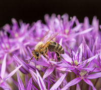 Honeybee pollinating on a giant onion flower