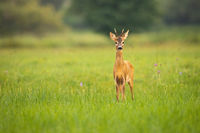 Young roe deer looking to the camera on meadow with copy space