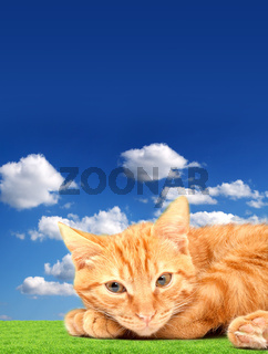 Red cute cat on a blue background