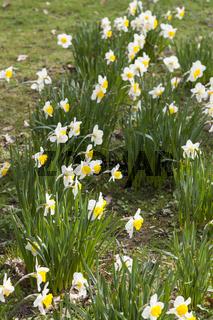 Gelbe Narzisse (Narcissus pseudonarcissus)