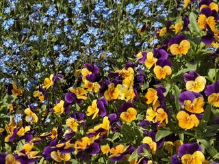 Viola cornuta-Hybride, Hornveilchen mit Myosotis sylvatica, Vergissmeinnicht - Viola cornuta-Hybrid, Horned pansies and Wood Forget-me-not