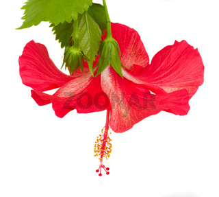 red  flower of hibiscus