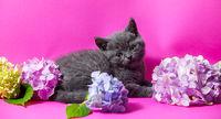 the beautiful gray kitten with bouquets hydrangea flowers