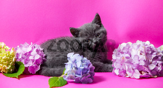 the beautiful gray kitten with bouquets hydrangea flowers