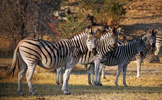 Zebra-Migration im Makgadikgadi Pans National Park, Botswana; zebras at Makgadikgadi Pans National Park, Botsuana, Equus quagga