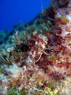 gehörnter Schleimfisch