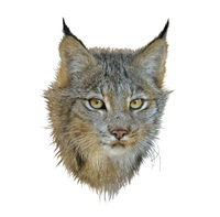 Digital painting of canada lynx on white background