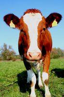 Bunte Holstein Kuh