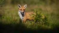 Red fox hiding behind small green tree on a glade in summer.