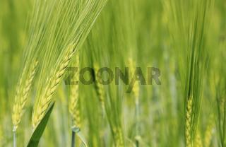 Hintergrund - Grünes Getreidefeld