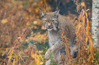 The Eurasian lynx - Lynx lynx - adult animal walking in autum colored vegetation