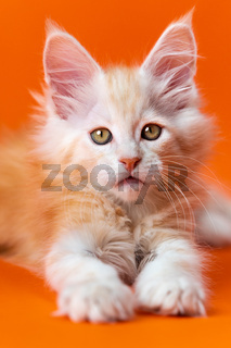 Kindly purebred male kitten 2 months old lying on orange background, looking at camera with interest