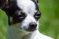 Animal portraits, a little chihuahua dog