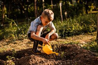 Schoolboy watering tomato plants in the garden
