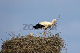 Weißstoerche (Ciconia ciconia), bauen ihr  Nest, Storchendorf Li