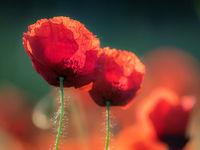 poppy flowers blur