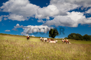 few alpine cows on summer meadow