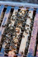 Bienen und Königin