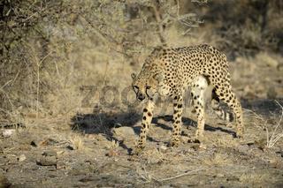 Gepard (Acinonyx jubatus) in dohender Haltung , Khomas Region, N