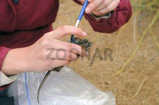 Zoologin markiert wilde Afrikanische Striemengrasmaus mit Haarfarbe