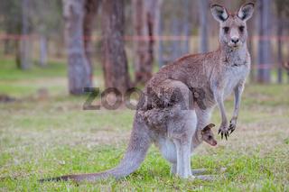 Grazing Kangaroo in Australia