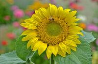 Sonnenblume; Helianthus annuus; sunflower;
