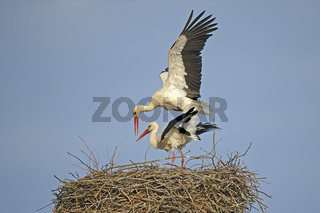 Weißstoerche (Ciconia ciconia), bei der Paarung im Nest, Storche