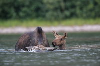 Moose Cow and calf feeding water plants in Pond in Glacier National Park in Montana,USA