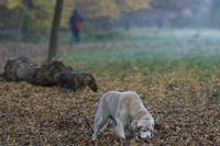 Golden Retriever schnüffelt im Herbstlaub