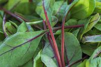 Nahaufnahme von kleinen Blättern mit roten Stielen vom Blattmangold