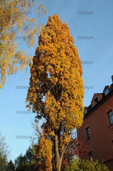 Quercus robur Fastigiata, Säuleneiche