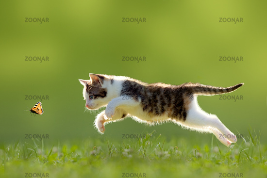 young cat hunting butterfly