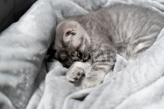 Small gray Scottish Straight kitten sleeps sweetly on gray bedspread on sofa. The theme is care and love for pets. Protection and care of helpless animals. British baby cat naps on blanket for bed