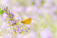 Small skipper butterfly (Thymelicus sylvestris) nectaring on lavender flowers in bloom