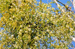 Mistel - mistletoe 22