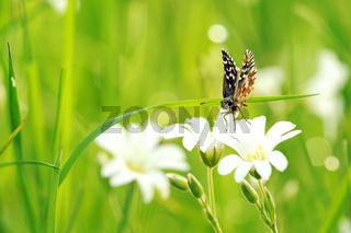 Kleiner Würfel-Dickkopffalter auf weißen Blumen V