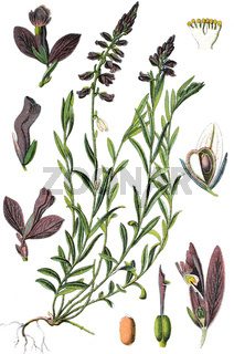 Die Gewöhnliche Kreuzblume Polygala vulgaris